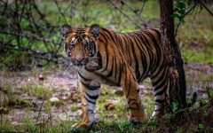 After Man-Eating Tiger Is Killed in India, a Backlash Against the Hunters